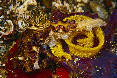 Nudibranch laying eggs, Indonesia  -  Birgitte Wilms