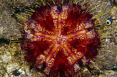 Fire Urchin (Asthenosoma varium) 80 feet deep, Indonesia  -  Birgitte Wilms