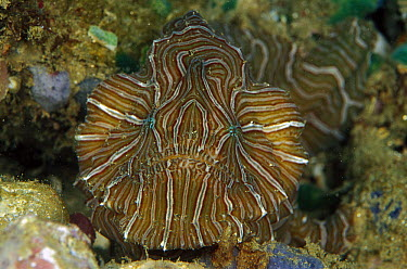 Psychedelic Frogfish (Histiophryne psychedelica) discovered in 2008, lacks the typical lure and striped pattern mimicks hard corals, Indonesia  -  Birgitte Wilms