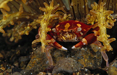 Porcelain Crab (Porcellanidae) at base of an anemone, Indonesia  -  Chris Newbert