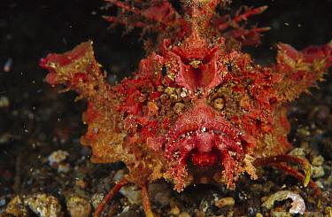 Bearded Ghoul (Inimicus didactylus), venomous species, Indonesia  -  Chris Newbert