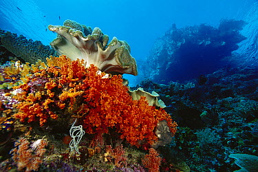 Soft Coral (Scleronephthya sp) and Leather Coral (Sarcophyton sp) on reef, Indonesia  -  Chris Newbert