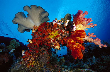 Leather Coral (Sarcophyton sp) and Soft Coral (Dendronephthya sp) on reef, Indonesia  -  Chris Newbert