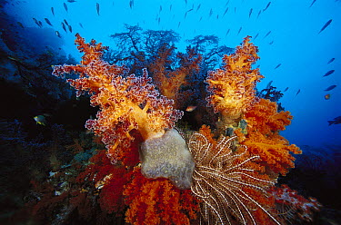 Soft Coral (Dendronephthya sp) reef scenic, Indonesia  -  Chris Newbert