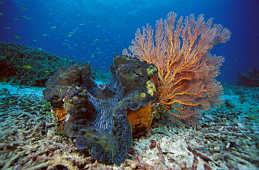 Giant Clam (Tridacna gigas) and gorgonian sea fan on ocean floor, Indonesia  -  Chris Newbert