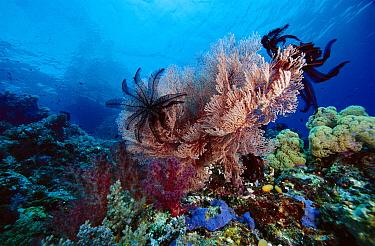 Crinoids on sea fan, Indonesia  -  Chris Newbert
