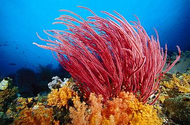 Soft Coral (Ellisella sp), Indonesia  -  Chris Newbert