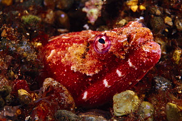 Reptilian Snake Eel (Brachysomophis henshawi) emerging from burrow, Indonesia  -  Chris Newbert