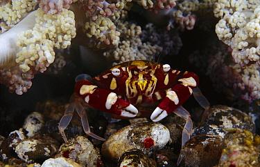 Sea Anemone Crab (Lissocarcinus laevis) at base of anemone, Indonesia  -  Chris Newbert