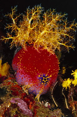 Sea Apple (Pseudocolochirus sp) sea cucumber with tentacles extended for feeding, Indonesia  -  Chris Newbert