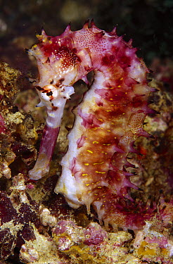 Thorny Seahorse (Hippocampus histrix), Indonesia  -  Chris Newbert