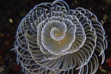 Feather Duster Worm (Sabellastarte sp) with brachail crown exteneded to feed, Indonesia  -  Chris Newbert