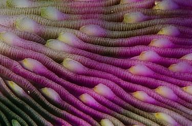 Mushroom Coral (Fungia scutaria) detail, Indonesia  -  Chris Newbert