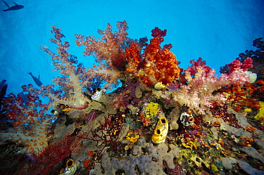 Soft Coral (Dendronephthya sp) reef, Indonesia  -  Chris Newbert