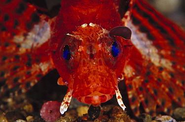 Shortfin Turkeyfish (Dendrochirus brachypterus), venomous species, Indonesia  -  Chris Newbert