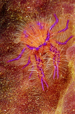 Hairy Squat Lobster (Lauriea siagiani), Indonesia  -  Chris Newbert