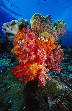 Soft Coral (Dendronephthya sp) and Leather Coral (Sarcophyton sp) reef, Indonesia  -  Chris Newbert
