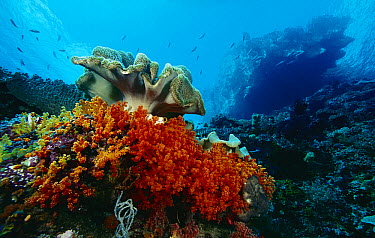 Soft Coral (Scleronephthya sp) and Leather Coral (Sarcophyton sp) reef, Indonesia  -  Chris Newbert
