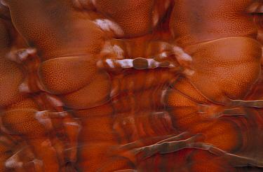 Bubble Coral (Cynarina sp) detail, Indonesia  -  Chris Newbert