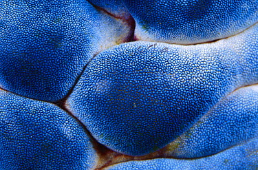 Tunicate (Polycarpa aurata) detail, Indonesia  -  Chris Newbert