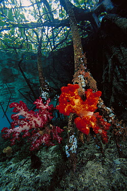Soft Coral (Dendronephthya sp) growing on mangrove roots, Indonesia  -  Chris Newbert
