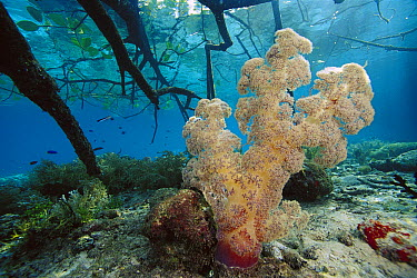 Soft Coral (Dendronephthya sp) amid mangrove roots, Indonesia  -  Chris Newbert