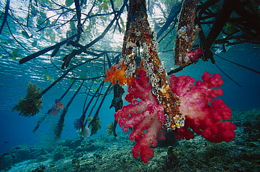 Soft Coral (Dendronephthya sp) on mangrove roots, Indonesia  -  Chris Newbert