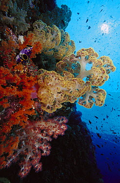 Soft Coral (Dendronephthya sp) and (Scleronephthya sp) reef, Indonesia  -  Chris Newbert