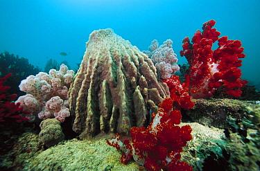 Soft Coral (Dendronephthya sp) and Giant Barrel Sponge (Xestospongia testudinaria), Indonesia  -  Chris Newbert
