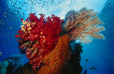 Soft Coral (Dendronephthya sp) and Soft Coral (Melithaea sp) reef, Indonesia  -  Chris Newbert