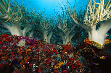 Soft Coral (Sinularia flexibilis) cluster on reef, Indonesia  -  Chris Newbert