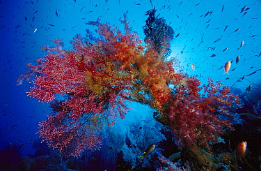 Soft Coral (Dendronephthya sp) and Sea Fans (Muricella sp) growing on dead sea fan stalk, Indonesia  -  Chris Newbert