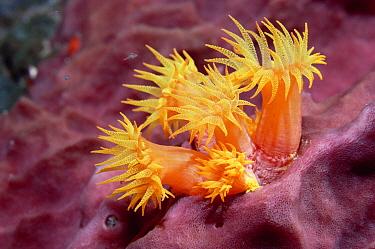 Orange Tube Coral (Tubastraea aurea) polyps extended only at night, Dutch Antilles, Caribbean  -  Norbert Wu