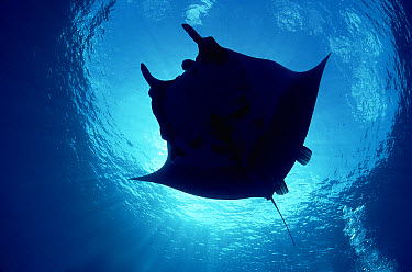Manta Ray (Manta birostris) being ridden by humans at seamount, Revillagigedo, Baja California, Mexico, Pacific Ocean  -  Norbert Wu