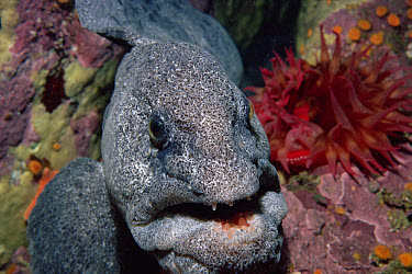 Wolf Eel (Anarrhichthys ocellatus) feeds on Crabs and Purple Sea Urchins (Strongylocentrotus purpuratus) six feet long, Monterey, California  -  Norbert Wu
