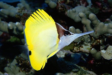 Longnose Butterflyfish (Forcipiger flavissimus) long nose helps it feed in crevices, Hawaii  -  Norbert Wu
