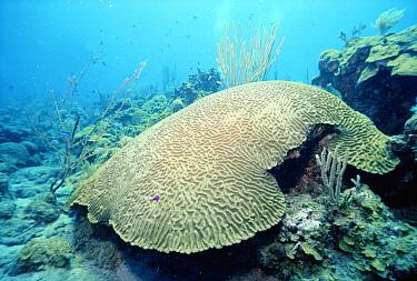 Boulder Brain Coral (Colpophyllia natans) common in south Florida, Bahamas and Caribbean, Saba, Dutch Antilles  -  Norbert Wu