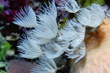 Feather Duster Worm (Bispira brunnea) worms trap plankton with feathery gills, Caribbean  -  Norbert Wu