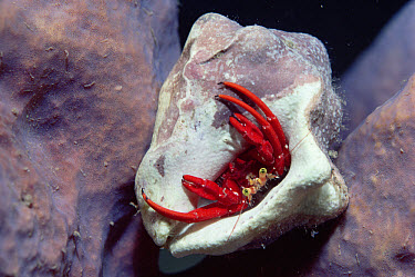Red Reef Hermit (Paguristes cadenati) eyes on stalks, hairs on arms used for sensing food in sand, Caribbean  -  Norbert Wu