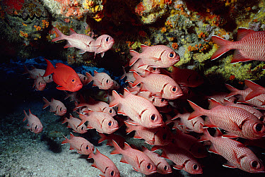 Doubletooth Soldierfish (Myripristis hexagona) spend the day in coral caves, come out at night, Seychelles  -  Norbert Wu