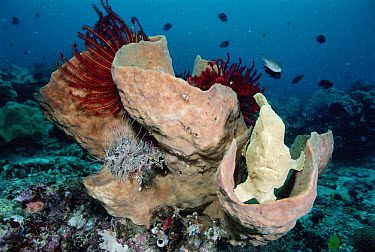 Frogfish (Antennarius sp) resembles a sponge and ambushes prey, Sulawesi, Indonesia  -  Norbert Wu