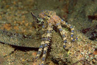 Blue-ringed Octopus (Hapalochlaena sp) deadly venom can paralyze a human's respiratory system in eight minutes, pulses blue rings when angry, Australia  -  Norbert Wu
