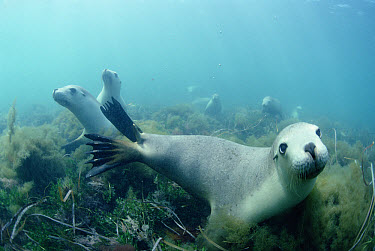 Australian Sea Lion (Neophoca cinerea) group swimming over seaweed, South Australia  -  Norbert Wu