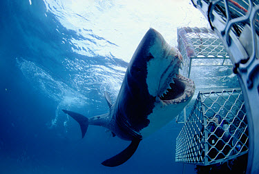 Great White Shark (Carcharodon carcharias) near divers in shark cage, Australia  -  Norbert Wu