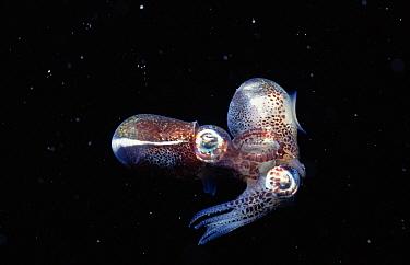 Bobtail Squid (Euprymna tasmanica) pair mating at night, Great Barrier Reef, Australia  -  Norbert Wu