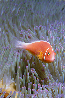 Pink Anemonefish (Amphiprion perideraion) in host Magnificent Sea Anemone (Heteractis magnifica), Fiji  -  Norbert Wu