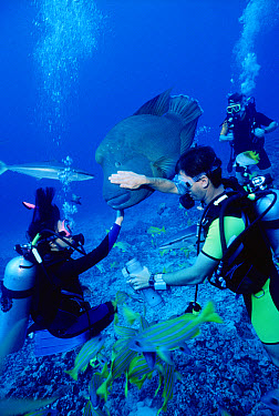 Double-headed Maori Wrasse (Cheilinus undulatus) named Jojo, being pet by Bathy's club divemaster in lagoon, Moorea, French Polynesia  -  Norbert Wu
