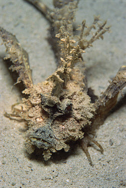 Two-stick Stingfish (Inimicus filamentosus) extremely venomous, usually hides in sand, Papua New Guinea  -  Norbert Wu