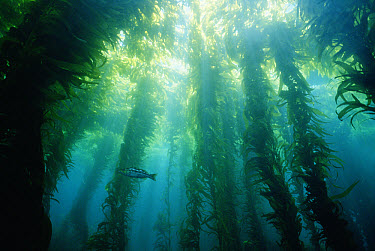 Giant Kelp (Macrocystis pyrifera) forms dark, lush canopy forest in cold waters, southern California  -  Norbert Wu