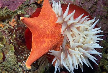 Fish-eating Sea Anemone (Urticina piscivora) eating Bat Star (Asterina miniata), southern California  -  Norbert Wu